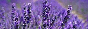 lavender hormone disruptor