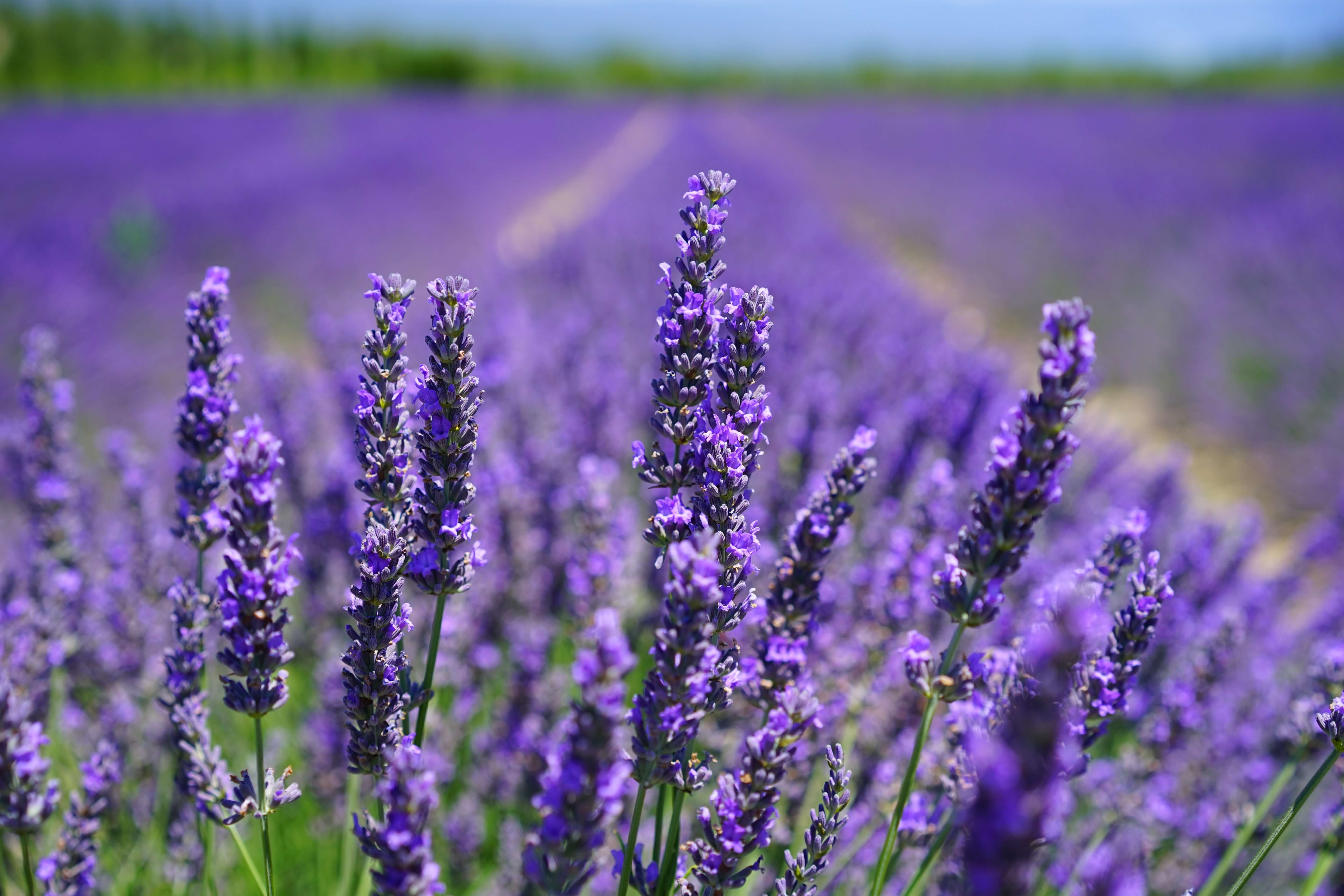 The Question Of Lavender As A Hormone Disruptor Sprout San Francisco