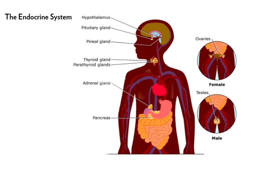 The Endocrine System The Harms Of Endocrine Disruptors Sprout Sf